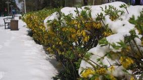 Abnormaal Weer in April De lentepark met Groene die Struiken en Bomen met Sneeuw worden behandeld stock video