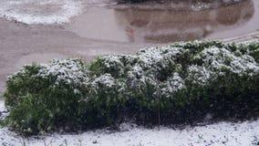 Abnormaal weer De sneeuw gaat geen groene Struiken in April bij de Lente stock video