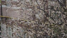 Abnormaal weer De sneeuw gaat op de Bloeiende Boom van Abrikozen in April stock footage