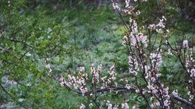 Abnormaal weer De sneeuw gaat op de Bloeiende Boom van Abrikozen in April stock video