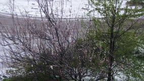 Abnormaal weer De sneeuw gaat op de groene bomen, de bladeren en de bloemen in April bij de Lente stock footage