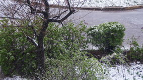 Abnormaal weer De sneeuw gaat op de groene bomen, de bladeren en de bloemen in April bij de Lente stock video