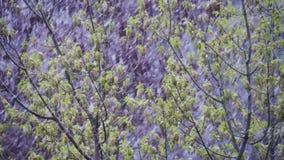 Abnormaal weer De sneeuw gaat op de groene bomen en gaat in April weg bij de Lente Langzame Motie stock video