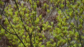 Abnormaal weer Sneeuw in recent April In de bomen, de groene bladeren en de bloemen stock footage