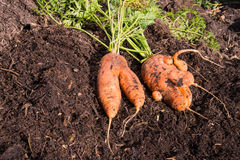 Abnormal carrot roots. Abnormal shape carrot root laying on compost Royalty Free Stock Photography