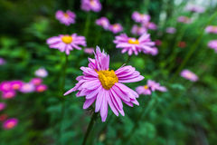 Abnormal flowers. Double headed pink daisies. Natural blurred background Royalty Free Stock Photos