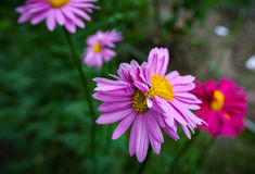 Abnormal flowers. Double headed pink daisies. Natural blurred background Royalty Free Stock Image