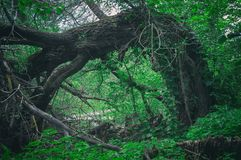 Abnormal frightening scary fallen big tree in a dense forest in the form of a gate. Entrance door to dark forest thicket stock photos