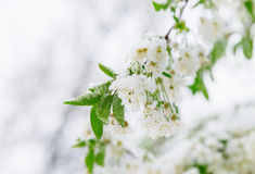 Abnormal natural phenomenon. Snow, frost, frost in late spring during the flowering of trees. The branch of a blossoming Cherry un Royalty Free Stock Photos