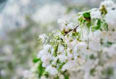 Abnormal natural phenomenon. Snow, frost, frost in late spring during the flowering of trees. The branch of a blossoming Cherry un Stock Photo