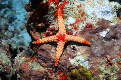 Abnormal starfish Royalty Free Stock Photography