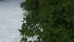 Abnormal Weather in April. Spring Park with Green Bushes and Trees Covered with Snow stock footage
