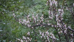 Abnormal weather. Snow goes on the flowering tree of apricots in April. Slow Motion stock footage