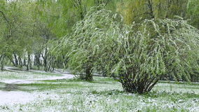 Abnormal weather. Snow goes on the green trees in the spring. Falling snow in a park with grass stock video footage