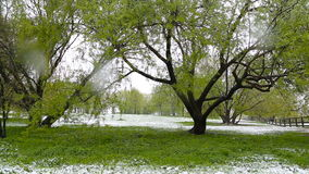 Abnormal weather. Snow goes on the green trees in the spring. Falling snow in a park with grass. stock video footage