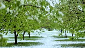 Abnormal weather. Snow goes on the green trees in the spring. Falling snow in a park with grass. Abnormal weather. Snow goes on the green trees in the spring stock footage