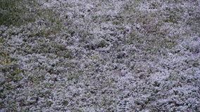 Abnormal weather. Snow goes to the Green Grass in April at Spring stock footage