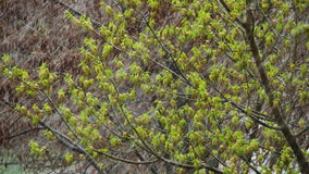 Abnormal weather. Snow in late April. In the trees, green leaves and flowers. stock video footage