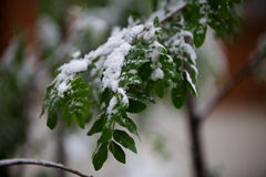 Abnormal weather in the spring in Siberia in one night in may, covered with snow and the flowering. Plants all around Stock Image