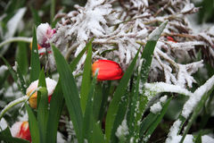 Abnormal weather in the spring in Siberia in one night in may, covered with snow and the flowering. Plants all around Royalty Free Stock Photo