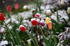Abnormal weather in the spring in Siberia in one night in may, covered with snow and the flowering. Plants all around Stock Photos