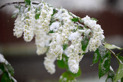 Abnormal weather in the spring in Siberia in one night in may, covered with snow and the flowering. Plants all around Royalty Free Stock Photography