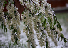 Abnormal weather in the spring in Siberia in one night in may, covered with snow and the flowering. Plants all around Stock Images