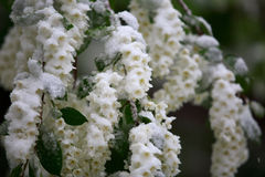 Abnormal weather in the spring in Siberia in one night in may, covered with snow and the flowering. Plants all around Royalty Free Stock Photos