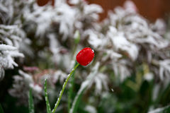 Abnormal weather in the spring in Siberia in one night in may, covered with snow and the flowering. Plants all around Royalty Free Stock Image