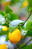 Abnormal weather for tropical lemon plant Stock Photography