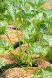 Abobrinha em nosso jardim orgânico do permaculture com palha de canteiro Fotos de Stock Royalty Free