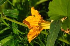 Abobrinha Planta de jardim Imagem de Stock Royalty Free