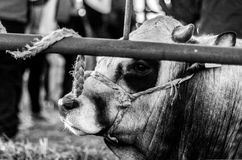 Abogar por ojos de vacas detrás de la cerca Fotos de archivo