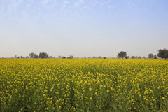 Abohar mustard crops Royalty Free Stock Photography
