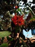 aboli infundibuliformis crossandra portugués Стоковое Изображение