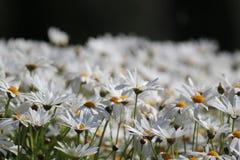 Abondance de belles fleurs blanches Photo libre de droits