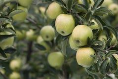 Abondance de pommes Images libres de droits
