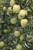 Abondance de pommes Photo stock