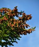 Abondance de production de pinecone en 2017 Images libres de droits