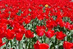 Abondance de tulipes de ressort Images stock