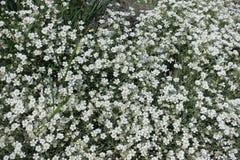 Abondance des fleurs blanches du tomentosum de Cerastium images libres de droits