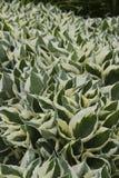 Abondance et uniformité dans le jardin : une usine avec les feuilles denses et aiguës La combinaison de couleurs légères et verte photographie stock