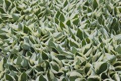 Abondance et uniformité dans le jardin : une usine avec les feuilles denses et aiguës La combinaison de couleurs légères et verte image libre de droits