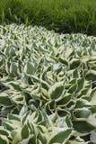 Abondance et uniformité dans le jardin : une usine avec les feuilles denses et aiguës La combinaison de couleurs légères et verte images stock