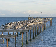 Abondoned Pier Inhabited by Cormorants Stock Photography