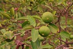 abone la fruta con cal, alta fruta de la vitamina C en familia de la fruta cítrica Fotografía de archivo libre de regalías