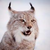 Abordable Eurasian lodjur, stående i vinterfält royaltyfria bilder