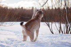 Abordable Eurasian lodjur, st?ende i vinterf?lt arkivfoton
