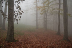 Abosolute fog. Nice deep fog in beech forest Royalty Free Stock Photo