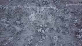 Top view of snowy trees in forest. From above aerial view of picturesque white woodland with evergreen trees tops covered with fresh snow, Poland stock video